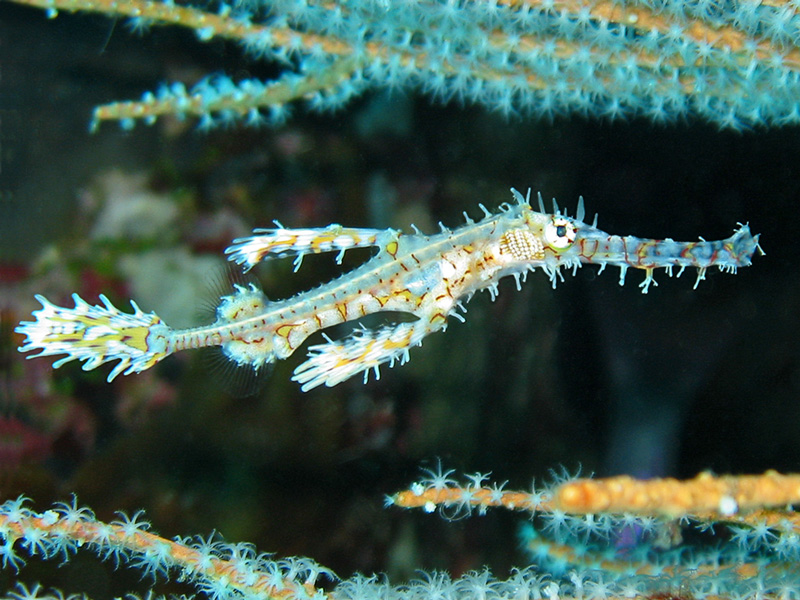 Ghost-pipefish-l