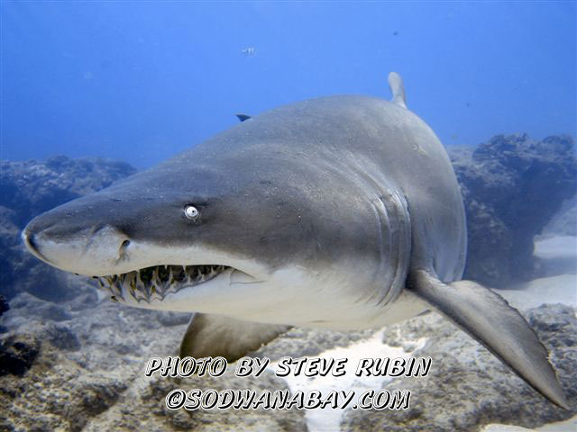 Carcharias taurus - Spotted ragged tooth shark